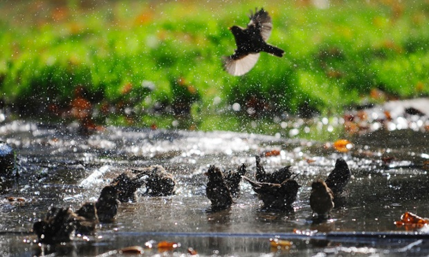 Chim sẻ tắm mát trong một vũng nước khi thời tiết nóng bất thường ở Macedonia.