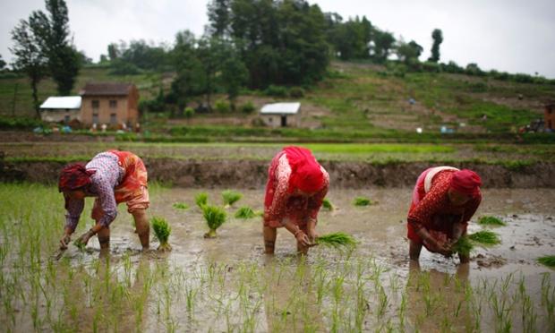 Những người nông dân cấy lúa trên cánh đồng ở Khokana, Lalitpur, Nepal.