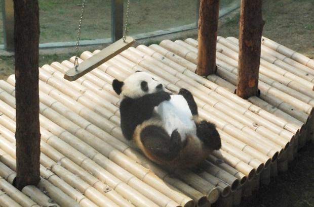 Gấu trúc ôm đá lạnh để giải nhiệt trong vườn thú ở thành phố Đại Liên, Trung Quốc.