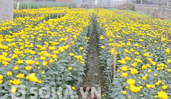 Theo những người dân ở đây, những vườn hoa cúc vàng tươi sẽ rất nở to, đẹp, phục vụ cho dịp Tết Nguyên đán sắp tới.