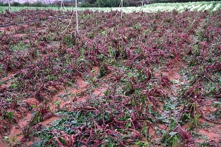 Nhiều diện tích cây trồng bị tàn phá