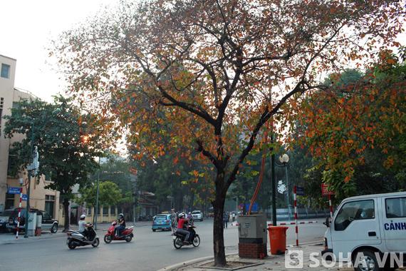 Và đến 16h50p ngày 13/10/2013, cây Bằng lăng này đã rụng gần như trơ trụi những chiếc lá....