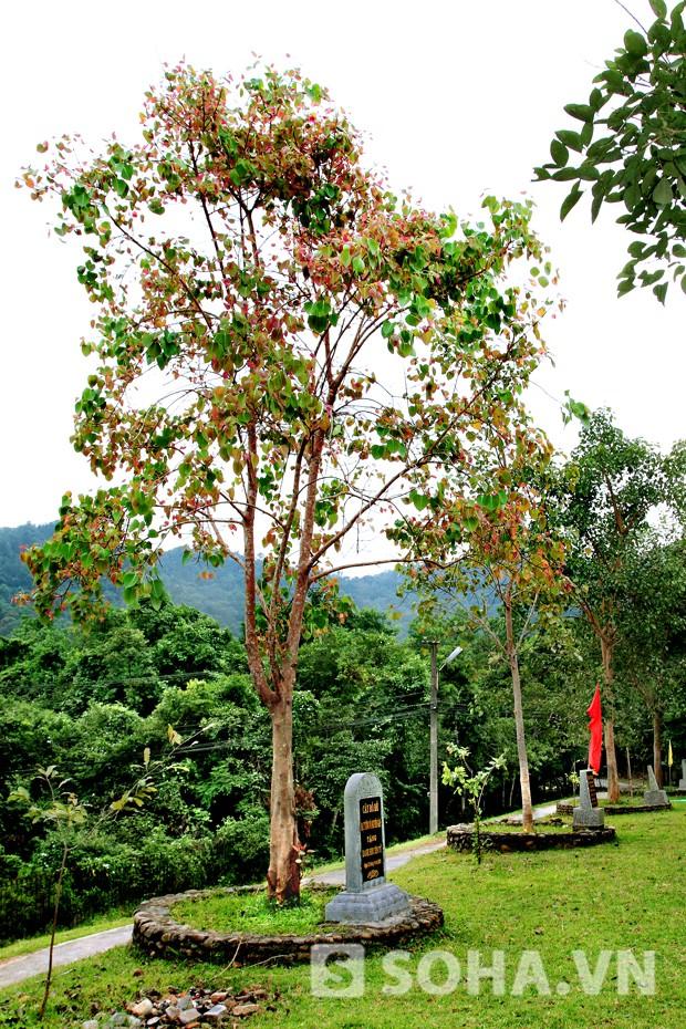 Cây bồ đề Đại tướng trồng khác biệt với những cây bồ đề khác ở Danh sơn Yên Tử