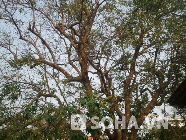 Trên cây, những trái khế nhỏ vẫn đang phát triển tốt.