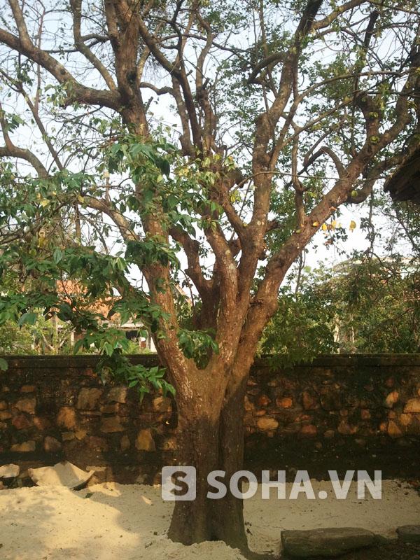 Dù bão lớn nhưng cây khế chua có hơn trăm năm tuổi sau nhà mà Đại tướng rất yêu quý chỉ bị rụng lá và gãy các cành nhỏ.
