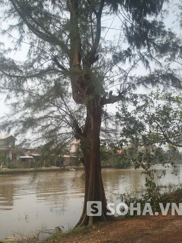 Dọc bên bờ sông phía nhà Đại tướng là những cây cổ thụ lớn hàng chục, trăm năm tuổi. Trong ảnh là một cây thông đã có hàng chục năm tuổi được trồng bên bờ sông.