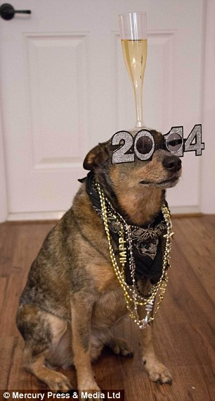 Jack Gia súc Úc Dog cân bằng một loạt các đối tượng lễ hội trên đầu và mũi của mình