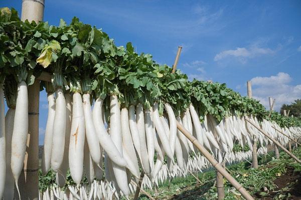 Củ cải trắng: Nhân sâm giá rẻ 1