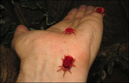 Loài côn trùng lạ quý ông thường mua về nhai sống thay Viagra 1