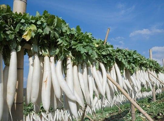 Củ cải trắng: Nhân sâm giá rẻ 3