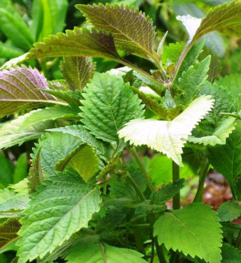 4 loại rau vườn nhà bỗng trở thành thuốc quý khi trời rét 1