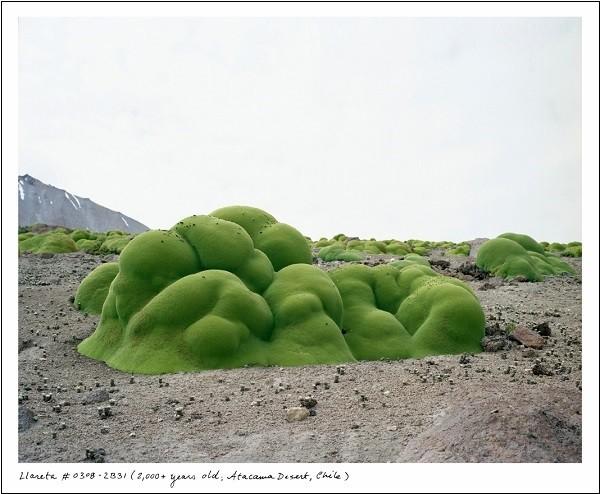 """Những loài thực vật kỳ quái """"sống dai"""" nghìn năm tuổi 3"""
