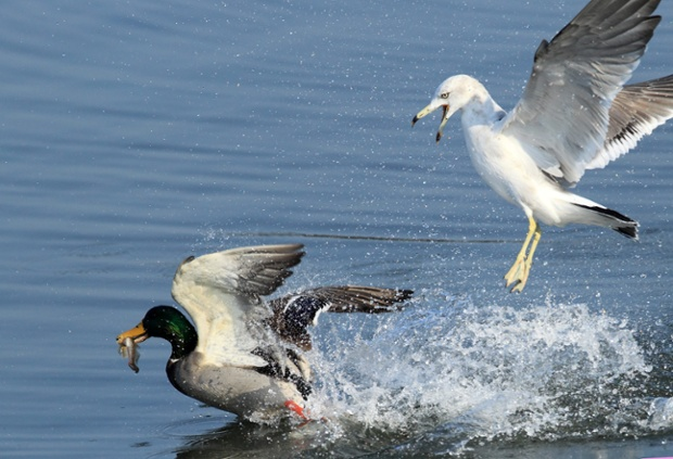 Mòng biển đói đuổi theo một con vịt đang ngậm cá trên hồ Gyeongpo ở Gangneung, Hàn Quốc.