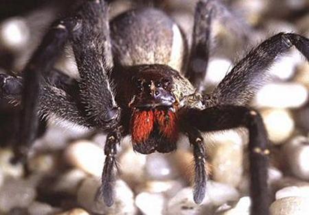 Chữa chứng liệt dương bằng... nọc độc nhện