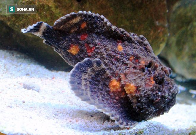Cá mặt quỷ: Quái vật có nọc độc khủng khiếp bậc nhất đại dương - Ảnh 3.