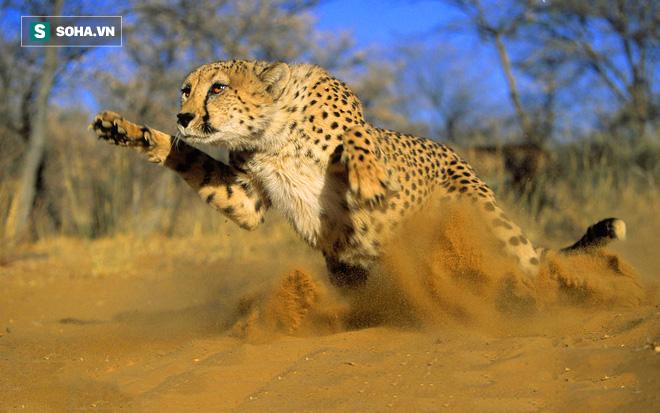 Ăn đứt siêu xe Porsche, Cheetah tăng tốc từ 0-95km/h trong 3s rồi kết liễu con mồi dã man - Ảnh 1.