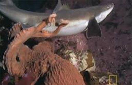 Cá mập bất lực trong màn vây hãm khủng khiếp của bạch tuộc - Ảnh 2.