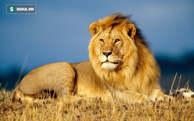 Huyết chiến đẫm máu quyết giành ngôi vương của 3 con sư tử đực - Ảnh 2.