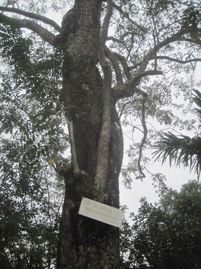 Thực hư thông tin cây sưa được rao bán với giá 50 tỷ đồng ở Bắc Ninh - Ảnh 1.