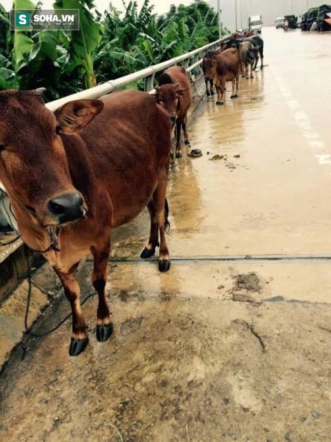 Quảng Bình lũ chồng lũ, người dân dắt bò lên đường tránh nạn - Ảnh 9.