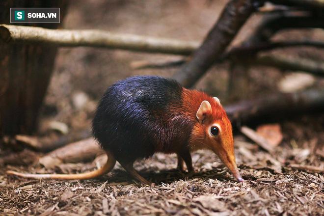 Bị cơn đói hành hạ, chuột chù lao vào nuốt chửng rắn sọc dưa, nhai ngấu nghiến bọ cạp độc - Ảnh 1.