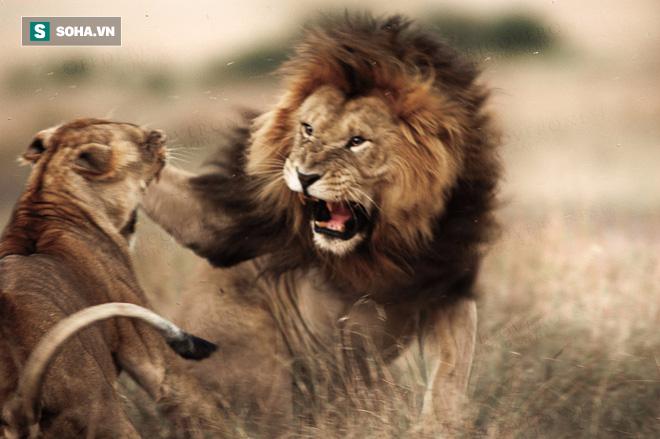 Gặp nhầm con mồi hổ báo, sư tử suýt bị húc thủng bụng! - Ảnh 1.
