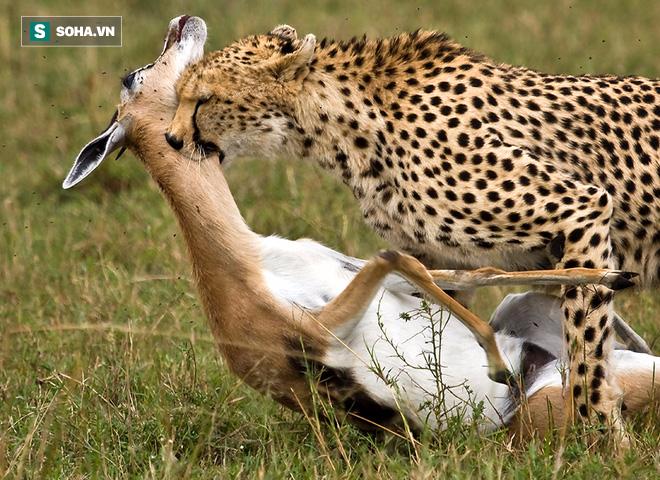 Bị linh cẩu và báo săn làm thịt, linh dương ngã xuống giả chết và cái kết không thể ngờ - Ảnh 2.