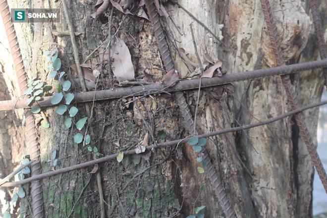 Áo giáp sắt hàng chục mét bảo vệ cây sưa 100 tỷ ở Hà Nội - Ảnh 2.