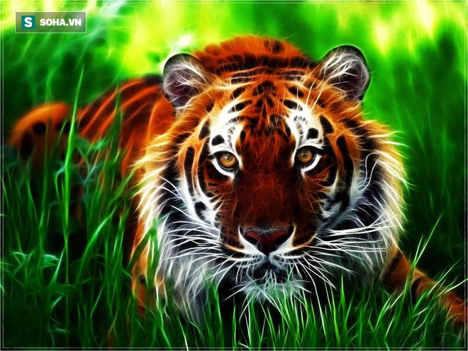 Vì sao hổ, loài được mệnh danh là chúa tể sơn lâm lại được dân ta gọi là Ông ba mươi? - Ảnh 2.