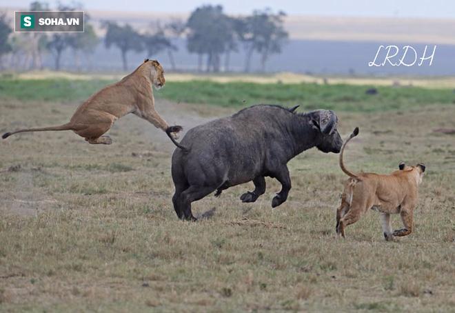 Bị bắt mất quý tử, trâu rừng gọi đội đánh hội đồng cả đàn sư tử to gan - Ảnh 1.