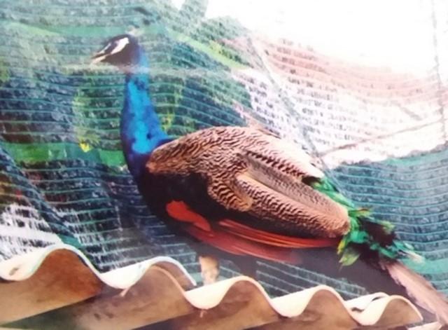 Vụ chim khổng tước quý hiếm thất lạc: Nhiều người đến xin nhận về - Ảnh 1.
