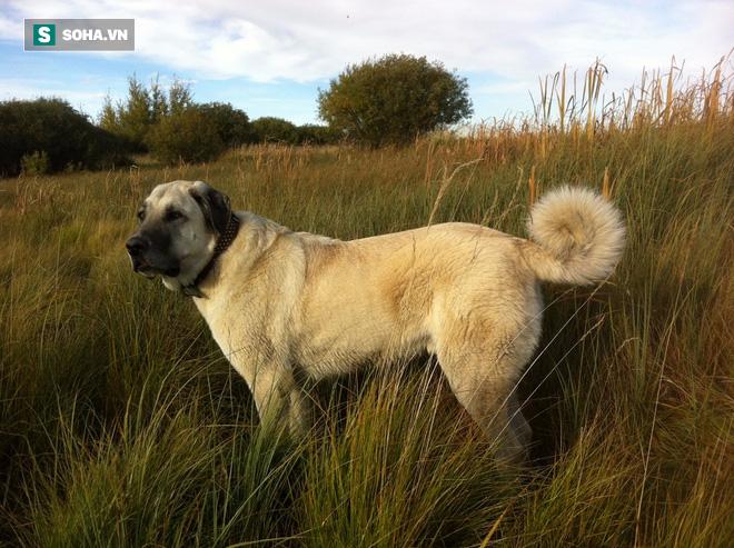 Quên ngao Tây Tạng đi, đây mới là loài chó có cú cắn hủy diệt nhất thế giới - Ảnh 2.