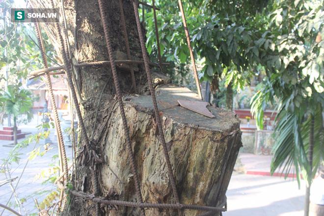 Áo giáp sắt hàng chục mét bảo vệ cây sưa 100 tỷ ở Hà Nội - Ảnh 3.