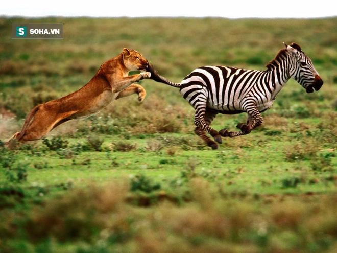 Bị bóng ma tốc độ đuổi theo, ngựa vằn giở miếng võ đá vỡ mặt sư tử để thoát thân - Ảnh 1.