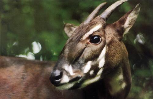 Loài thú được coi là báu vật và những lần từng xuất hiện ở VN - Ảnh 3.