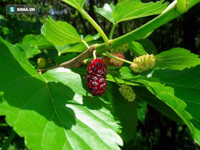 Bài thuốc từ cây dâu tằm - chiếc lá nhỏ làm thay đổi thế giới - Ảnh 1.