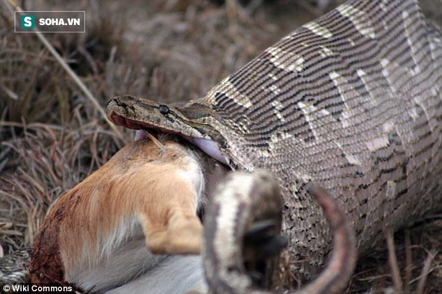 Tưởng trăn nuốt sống bê nhà nuôi, người dân rạch bụng con vật và phát hiện sự thật bất ngờ - Ảnh 1.