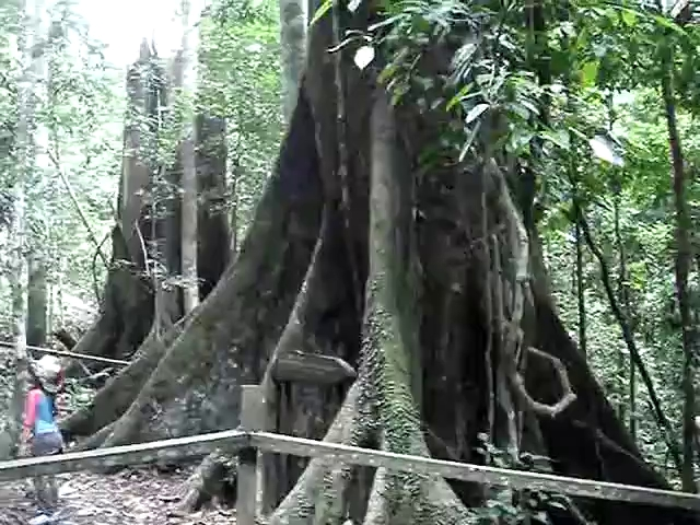 Phát hiện giống cây cao nhất thế giới, xô đổ kỷ lục của cây meranti vàng mới lập cách đây 5 tháng - Ảnh 2.