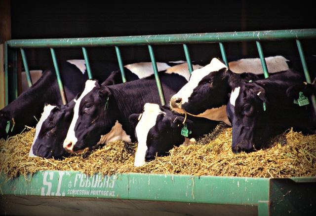 Toàn bộ ngành công nghiệp sữa thiệt hại 420 triệu USD bởi... một con bò đực - Ảnh 1.