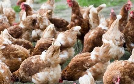 Vi khuẩn chết người trong thịt gà có thể kháng lại thuốc kháng sinh - Ảnh 1.