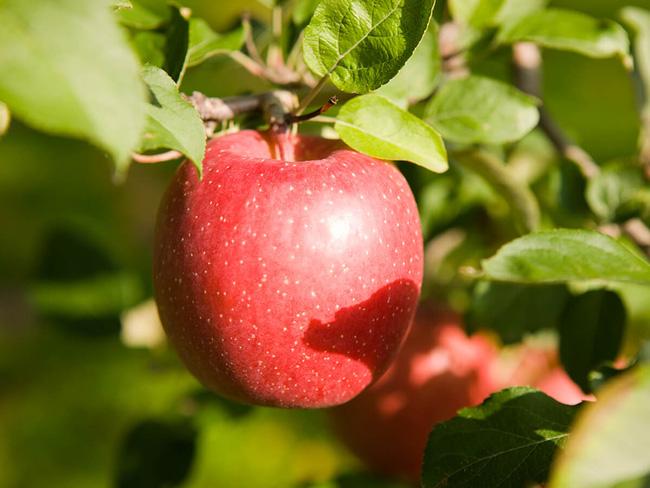 Vì tình yêu với vợ, cụ ông gàn dở nhất Nhật Bản đã dành 30 năm đi tìm cách trồng táo không thuốc trừ sâu - Ảnh 2.