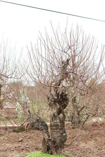 Ngắm gốc đào Nhật Tân mà đại gia chi 70 triệu mới chỉ được thuê - Ảnh 1.