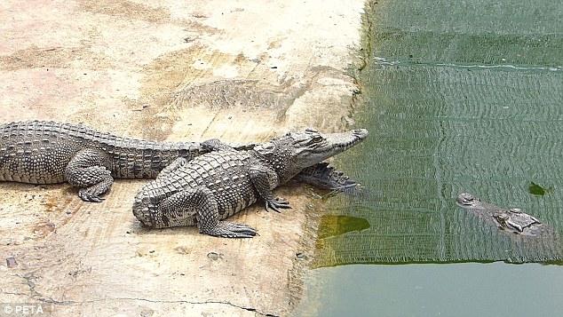 Cảnh tượng rùng mình bên trong một trang trại cá sấu ở Việt Nam lên báo nước ngoài - Ảnh 3.