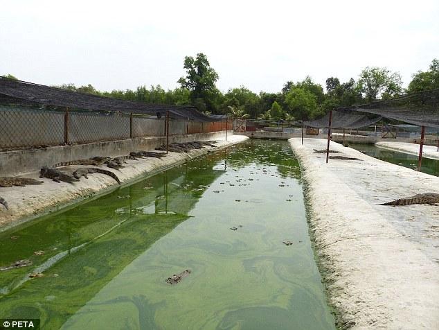 Cảnh tượng rùng mình bên trong một trang trại cá sấu ở Việt Nam lên báo nước ngoài - Ảnh 7.
