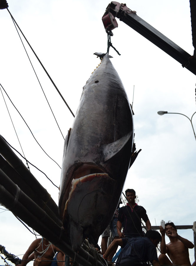 Câu được cá ngừ đại dương vây xanh khủng nặng 307 kg - Ảnh 1.
