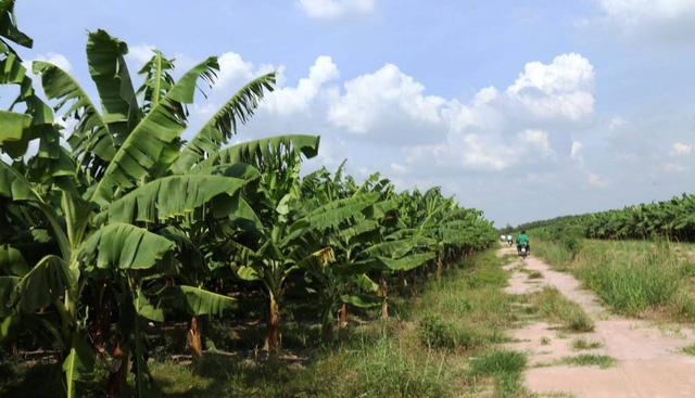 Lão nông Nhật tìm ra chìa khóa giải quyết tình trạng thiếu lương thực toàn cầu sau khi tái tạo kỷ băng hà để trồng chuối - Ảnh 3.