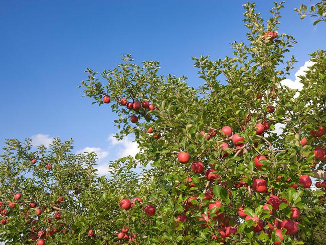 Vì tình yêu với vợ, cụ ông gàn dở nhất Nhật Bản đã dành 30 năm đi tìm cách trồng táo không thuốc trừ sâu - Ảnh 3.