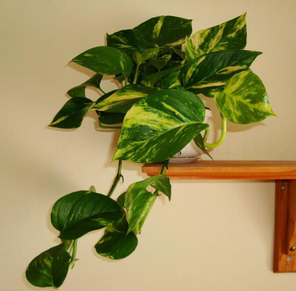 7 loại cây lọc thanh không khí nên trồng trong nhà để hỗ trợ sức khỏe - Ảnh 3.