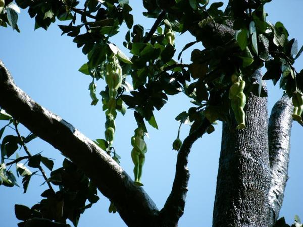 Bí ẩn chưa có lời giải về loài cây cho ra quả giống y hệt thiếu nữ khỏa thân - Ảnh 5.