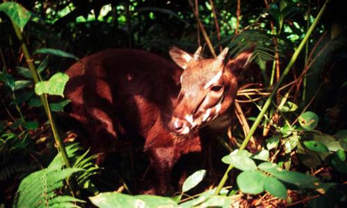Loài thú được coi là báu vật và những lần từng xuất hiện ở VN - Ảnh 1.